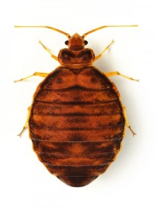 Bed Bug Close Up Picture