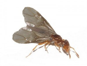 Flying Ant - Reproductive Ant