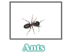 Ant Information -  Pest Control