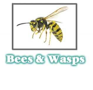 Bees and Wasp Information -  Pest Control