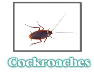 Cockroach Information -  Pest Control