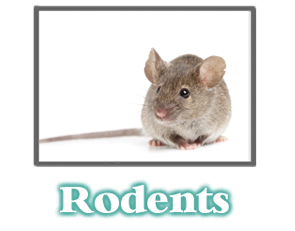 Mice and Rat Information -  Pest Control
