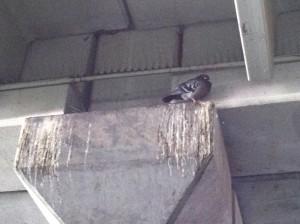 Pigeon In Parking Garage - Bird Droppings