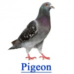 Pigeon - Pest Library