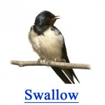 Swallow - Pest Library