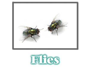 Fly Information -  Pest Control