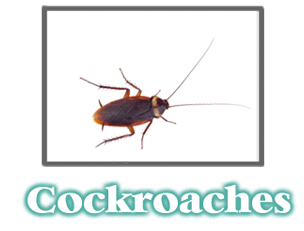 Cockroach Information -  Pest Control